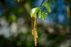 Ветви березы Стоковые Изображения RF