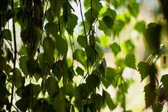 Ветви березы стоковая фотография