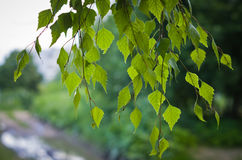 Ветви березы Стоковые Фотографии RF