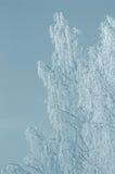 ветви березы colorized зима утра снежная Стоковое Фото