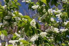 Ветви белой blossoming вишни на зеленой предпосылке Стоковое Изображение RF