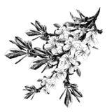Ветви вектора эскиза яблонь Стоковая Фотография