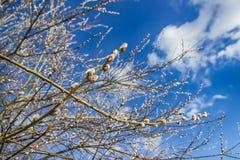 Ветви вербы пасхи Хворостины вербы Дерево вербы весны в цветени Стоковое Фото