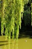 Ветви вербы падая к воде Стоковая Фотография
