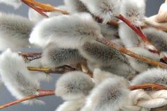 Ветви вербы pussy с пушистыми бутонами на черной предпосылке Стоковое Изображение