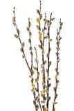 Ветви вербы pussy с цветя бутоном. Изолированный. Стоковое Изображение RF