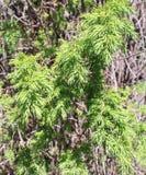 Ветви вереска зеленые Стоковая Фотография RF