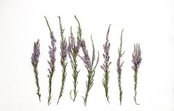 Ветви вереска с фиолетовыми цветками на светлой предпосылке Стоковые Фотографии RF