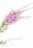 Ветви вереска Стоковая Фотография
