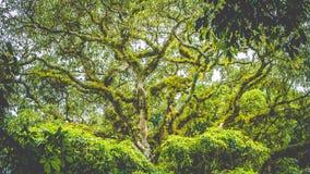 Ветви верхнего огромного старого баньяна покрытого moos в джунглях Бали Стоковое Фото