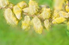 Ветви весны цветя вербы на зеленой предпосылке Стоковая Фотография RF