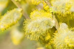 Ветви весны цветя вербы на зеленой предпосылке Стоковые Изображения RF