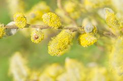 Ветви весны цветя вербы Стоковые Изображения RF