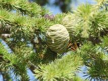 Ветви вечнозеленого дерева Стоковая Фотография RF