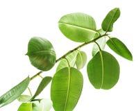 Ветви взгляда резинового дерева нижнего на белой предпосылке, большие округленные изолированные зеленые листья Элементы для карты стоковые фото