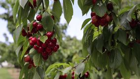 Ветви вишневого дерева с вишнями видеоматериал