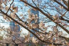 Ветви вишневого цвета в токио стоковая фотография rf