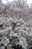 Ветви вишневого цвета связывают полностью цветене Стоковое Фото