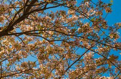 Ветви вишневого цвета Bloomimng Стоковое фото RF