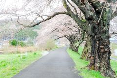 Ветви вишневых деревьев нося розовые цветения и сгабривая над тротуаром вдоль речных берегов Shiroishi любят тоннель saku Стоковое фото RF