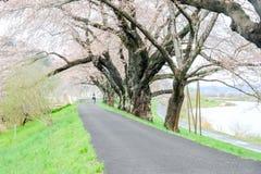 Ветви вишневых деревьев нося розовые цветения и сгабривая над тротуаром вдоль речных берегов Shiroishi любят тоннель saku Стоковое Изображение
