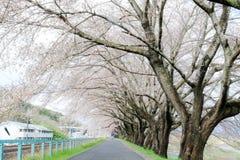 Ветви вишневых деревьев нося розовые цветения и сгабривая над тротуаром вдоль речных берегов Shiroishi любят тоннель saku Стоковые Фотографии RF