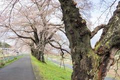 Ветви вишневых деревьев нося розовые цветения и сгабривая над тротуаром вдоль речных берегов Shiroishi любят тоннель saku Стоковые Изображения RF