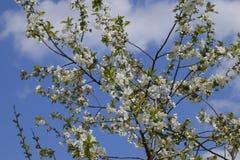 Ветви вишневых цветов Цвести фруктового дерев дерева Стоковое Фото