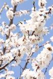Ветви вишневых цветов Стоковые Изображения RF