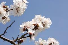 Ветви вишневых цветов Стоковое Изображение RF