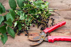 Ветви вишни птицы с зрелыми ягодами и старым pruner Стоковое Фото