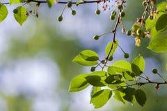 Ветви вишни с сияющими свежими листьями и малыми незрелыми вишнями осветили солнцем весны на запачканной яркой предпосылке космос Стоковое Изображение