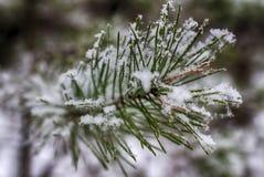 Ветви в снеге, макрос сосны покрытые Снег иглы вечнозеленого дерева стоковое изображение rf