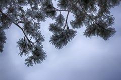 Ветви в снеге, макрос сосны покрытые Снег иглы вечнозеленого дерева стоковая фотография