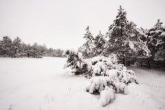 Ветви в снежке Стоковые Фото