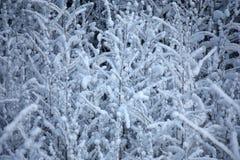 Ветви в снежке Стоковое Изображение