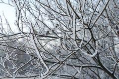 Ветви в снежке Стоковое фото RF