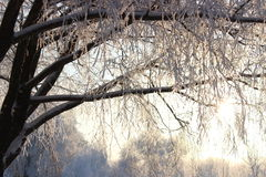 Ветви в снежке Стоковые Изображения
