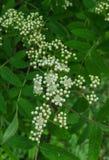 Ветви в цветках тишины не цвести золы горы стоковая фотография rf
