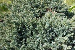 Ветви гималайского можжевельника с иглами сизоватого зеленого цвета стоковые фото