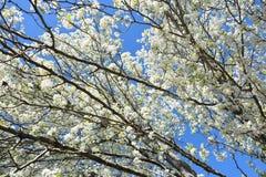 Ветви грушевого дерев дерева стоковое фото rf