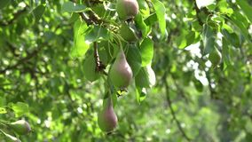 Ветви грушевого дерев дерева вполне плодоовощей растут в органической ферме Изменение фокуса 4K сток-видео