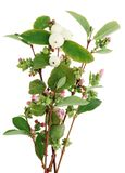 Ветви декоративного кустарника с розовыми малыми цветками и большой Стоковые Фотографии RF