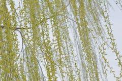 Ветви дерева вербы против белой предпосылки стоковые фото