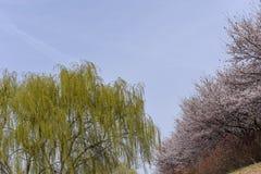 Ветви дерева вербы против белой предпосылки стоковые изображения rf