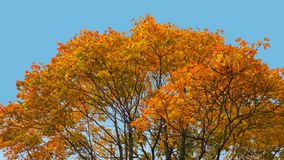 Ветви дерева клена с листьями желтого цвета и коричневого цвета в ясной предпосылке неба фото Стоковые Фотографии RF