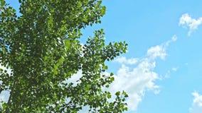 Ветви дерева пошатывают на голубом небе и облаках на заходе солнца Весна приходила, оно тепла Пасмурная погода Деревья имеют буто видеоматериал