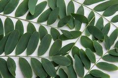 Ветви дерева саранчи терния меда с листьями зеленого цвета на белой деревянной предпосылке Забота кожи тела здоровья очищенности  Стоковые Фотографии RF