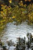 Ветви дерева с красочными листьями осени на банках реки Стоковое Фото