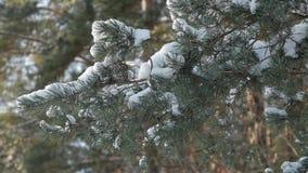 Ветви дерева с снегом на их двигая в ветер сток-видео